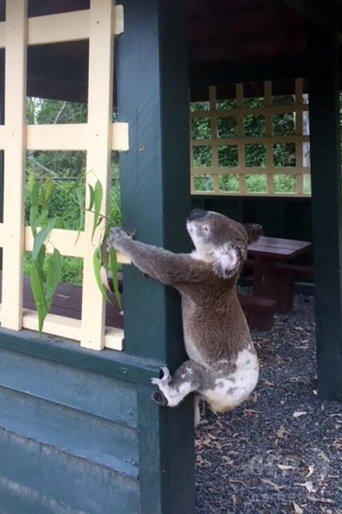 はりつけ姿で死んでいるコアラ、豪公園で発見 怒りの声上がる