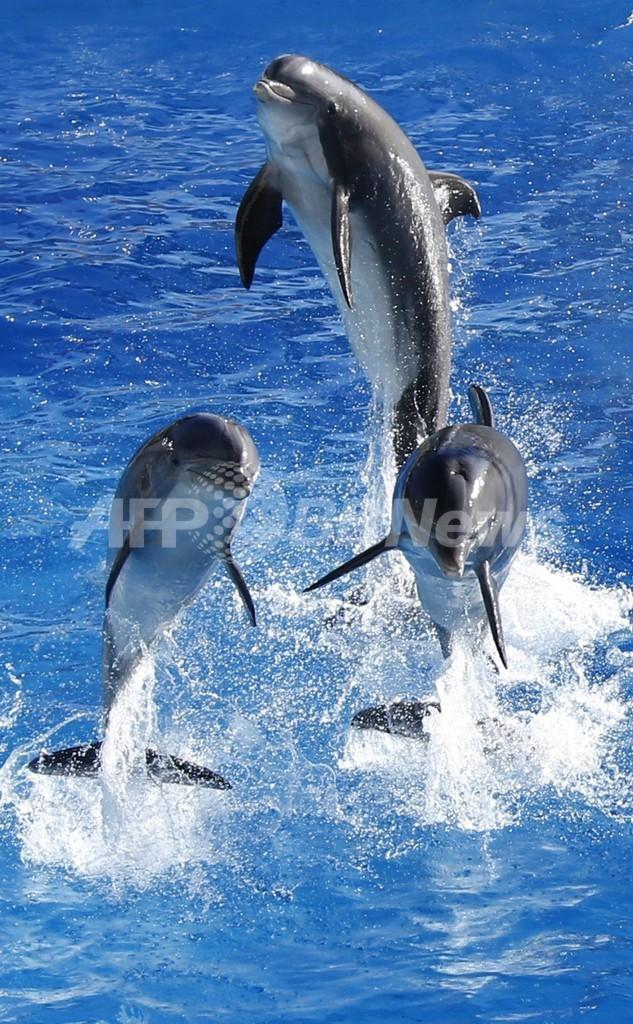 イルカは仲間の「名前」を20年以上記憶、米研究