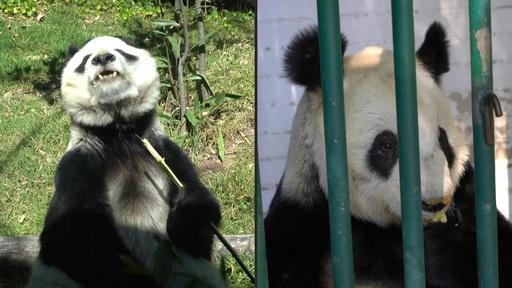 動画:世界で2頭だけ、中国に所有権のないメキシコのパンダたち