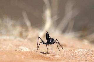 アリは人間のための「製薬工場」になるか? 研究