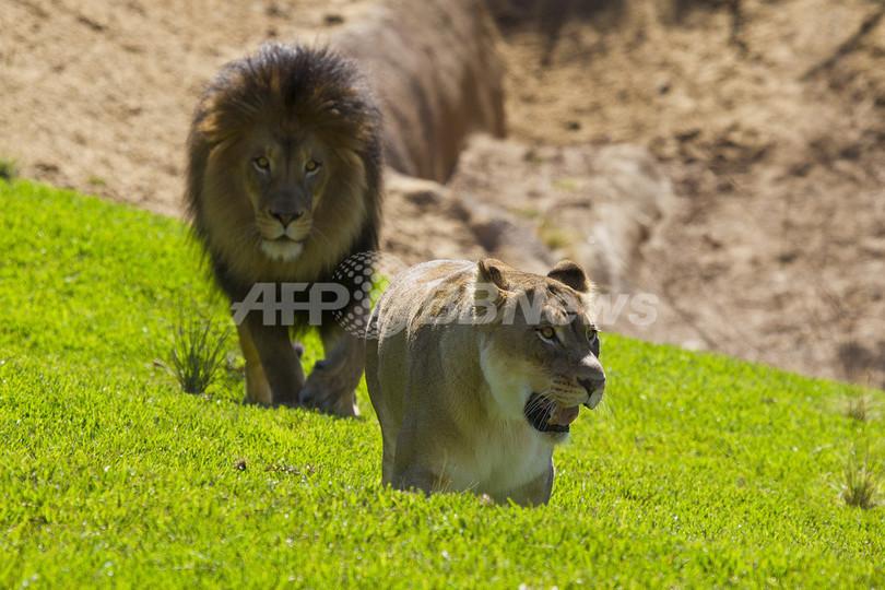 「別居」でうつになった雄ライオン、「再同居」へ ブラジル