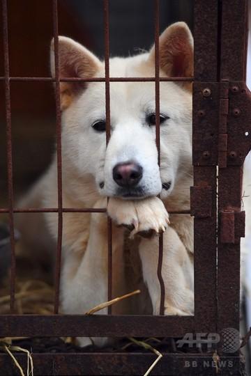 韓国の犬食文化に変化、欧米の里親に出す養犬業者も