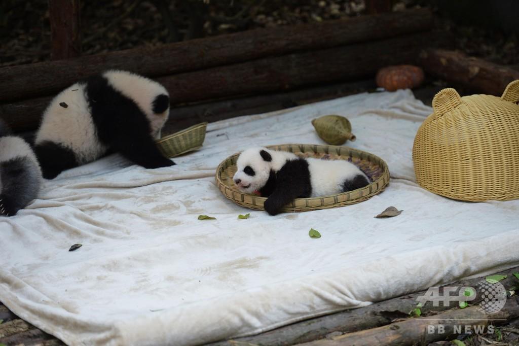 隠れてないよ~、竹籠に夢中ないたずらっ子パンダ 中国・四川省