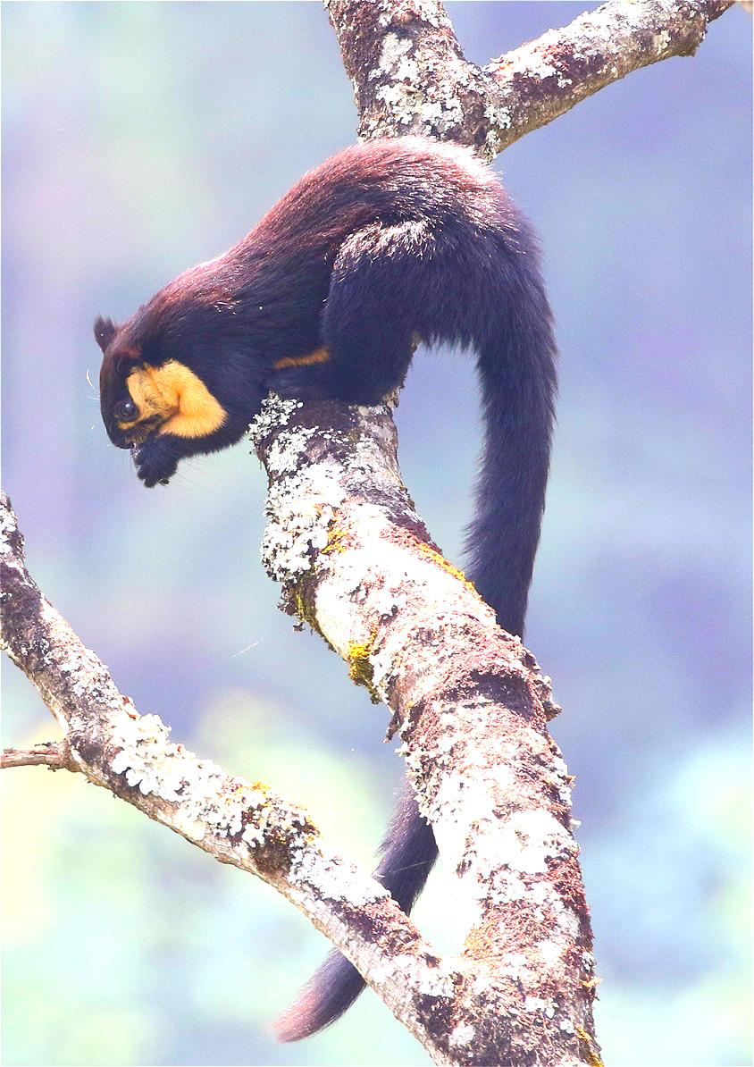 中国国家二級重点保護野生動物クロオオリスの撮影に成功 雲南省竜陵県