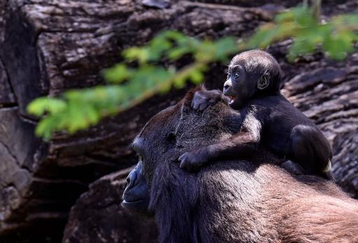 目にするものすべてが驚き? 生後3か月のゴリラの赤ちゃん