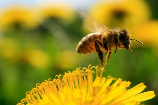 タンポポの蜜を集めるミツバチ