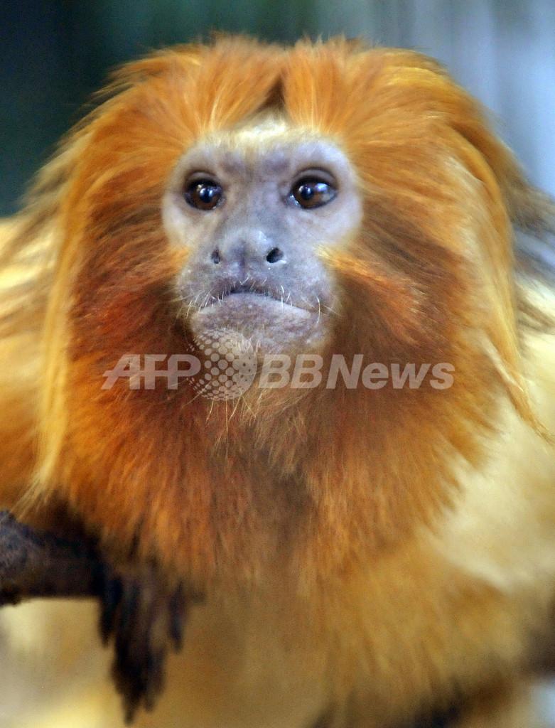 黄金色の毛に包まれたゴールデンライオンタマリン、静岡