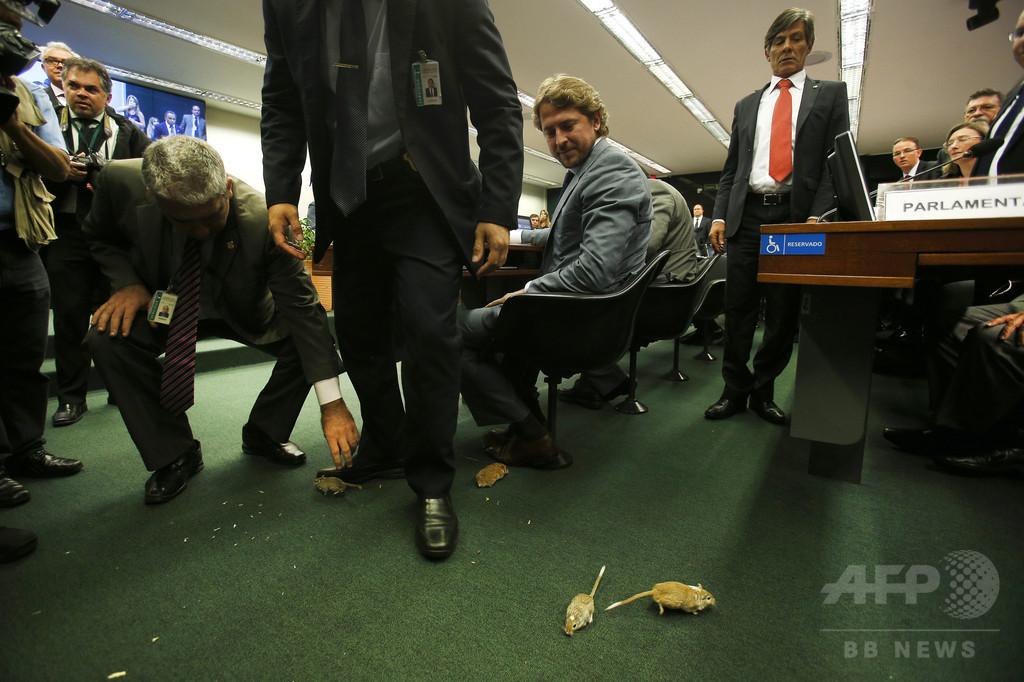 ブラジル議会公聴会にネズミ、一時騒然 汚職に抗議か