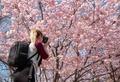 ウィーンでも桜開花、見頃に