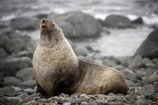 オットセイに「異常な大量死事象」発生 米加州沿岸で