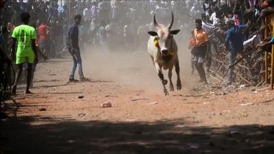 動画:インドの牛追い祭り「ジャリカット」、初日に数十人負傷