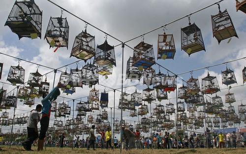鳥カゴずらり、タイの鳴き合わせ大会