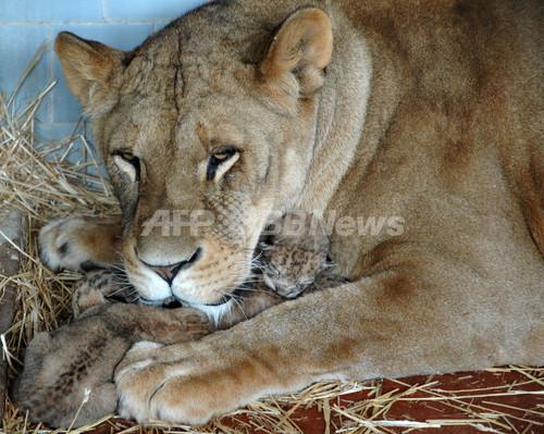 ナポリの動物園でライオンの赤ちゃんが誕生