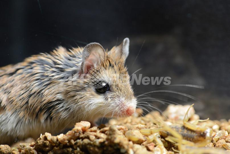 サソリ毒の「痛みを感じない」ネズミ、仕組みを解明 米研究