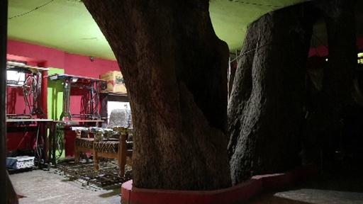 動画:イチジクの木を囲む家、樹齢150年の巨木と暮らすインドの家族