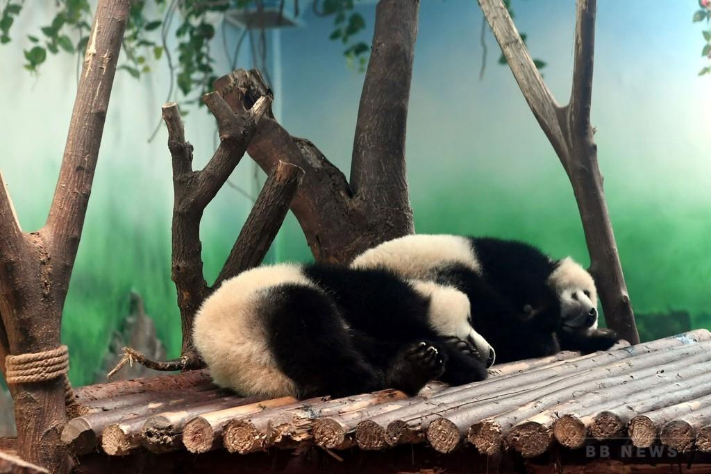 子パンダを「虐待」とネット上に怒り、飼育員の動画拡散で 中国