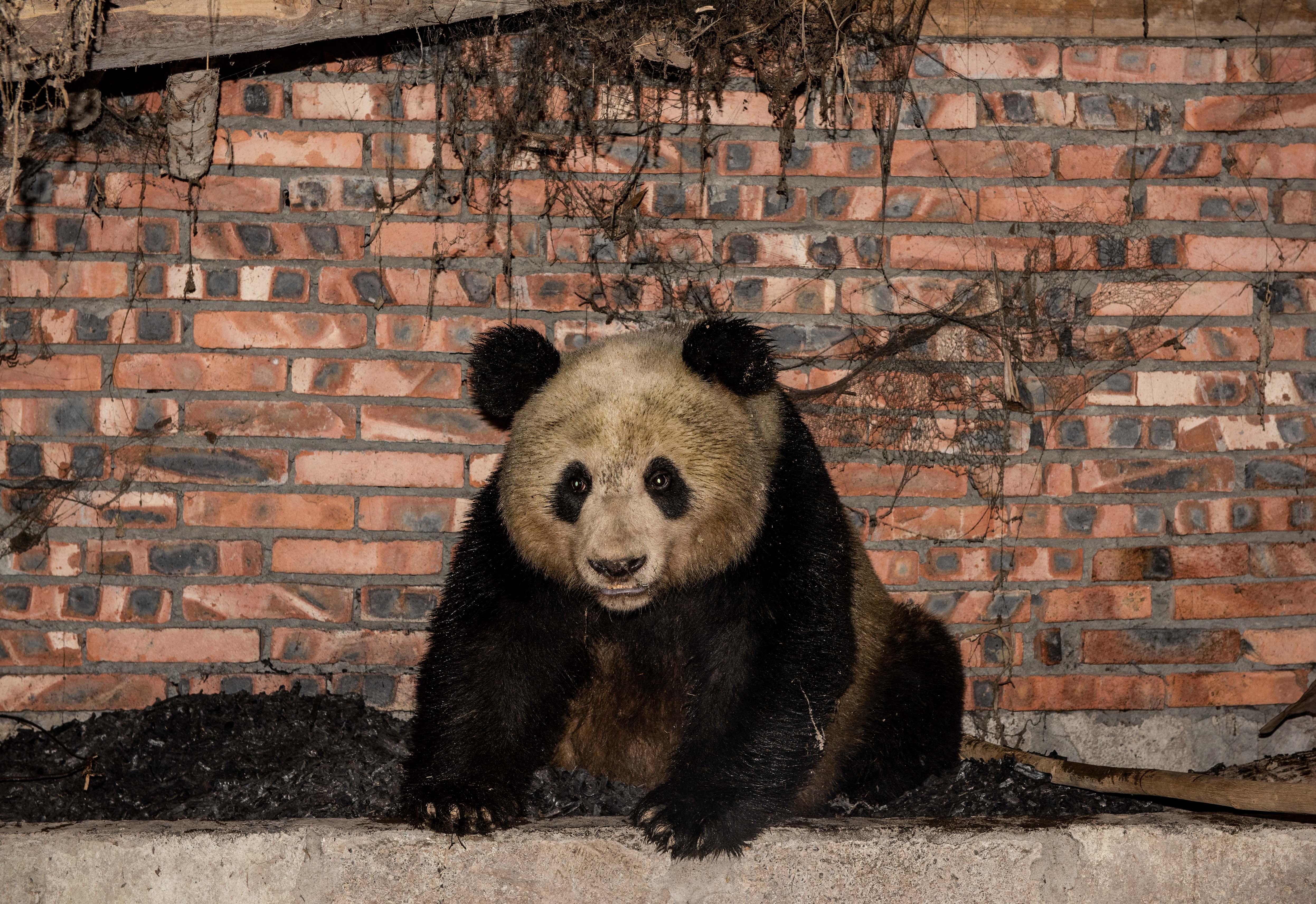 野生のジャイアントパンダ、農家で「一晩過ごす」 中国・四川省