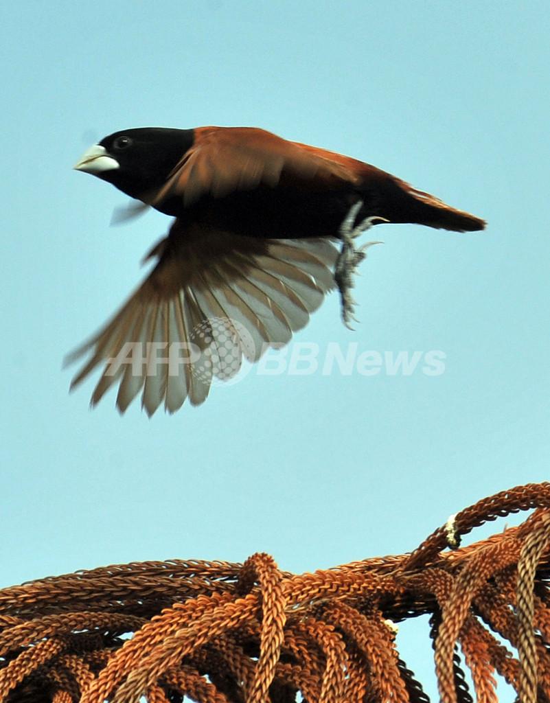 フィリピンで愛される小鳥、キンパラ かつては国鳥