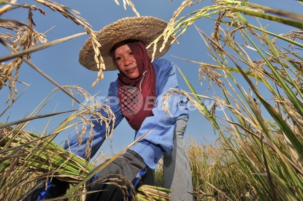 「農薬使用削減すべき」、「緑の革命」推進した国際稲研究所