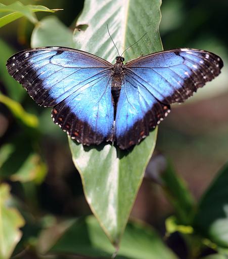 コスタリカで飼育される色とりどりのチョウたち