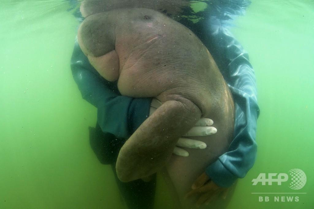 タイで人気集めたジュゴンの赤ちゃん死ぬ、腹部からプラごみ
