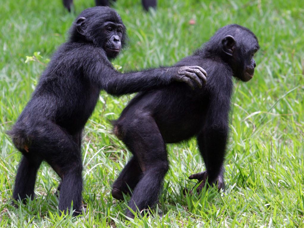 オランウータンなど類人猿に他者の誤り見分けて助ける能力、研究