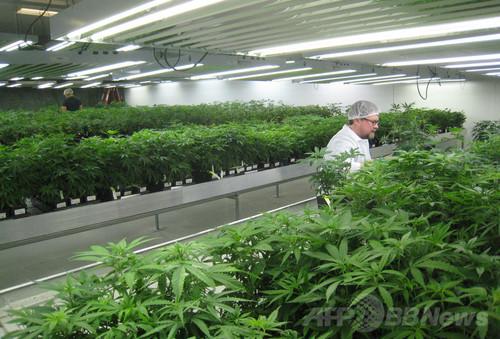 医療用マリフアナが一大産業に、カナダ