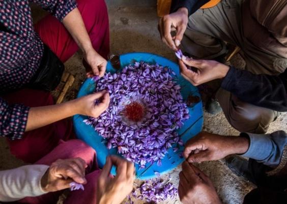 高級香辛料サフラン、類似品と闘う農家 モロッコ