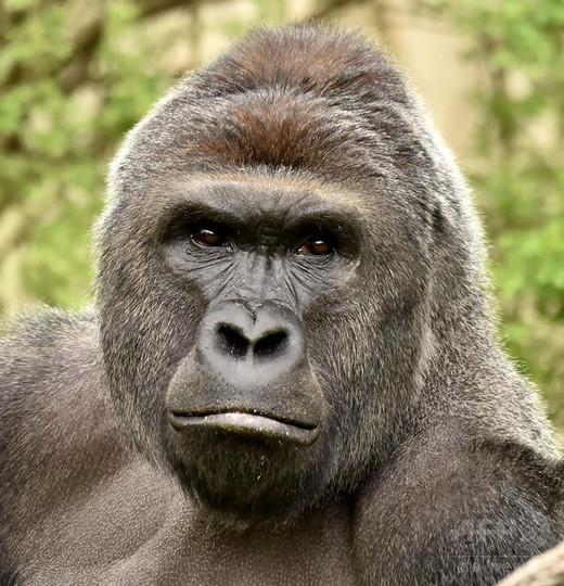 米動物園のゴリラ射殺、警察が捜査 男児転落への対応に批判集中