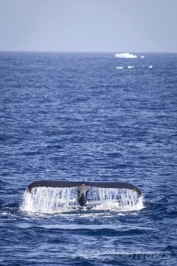 南極海での調査捕鯨、今年度取りやめ 水産庁