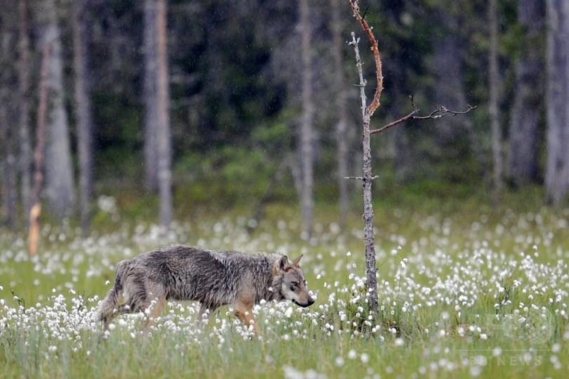 フィンランド、オオカミ2割間引きへ 違法狩猟増加で