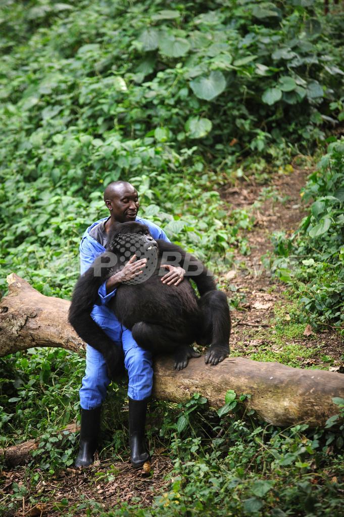 世界に4頭だけ、人に育てられるマウンテンゴリラの「孤児」たち