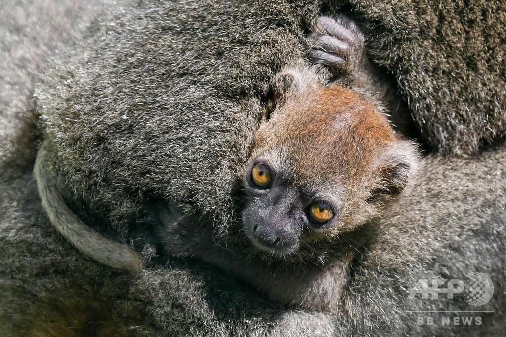 「じーっ…」 と見つめるキツネザルの赤ちゃん 仏