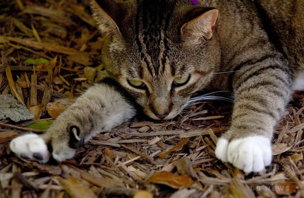 文豪ヘミングウェーが愛した猫の子孫、怪物ハリケーンを生き延びる 米フロリダ