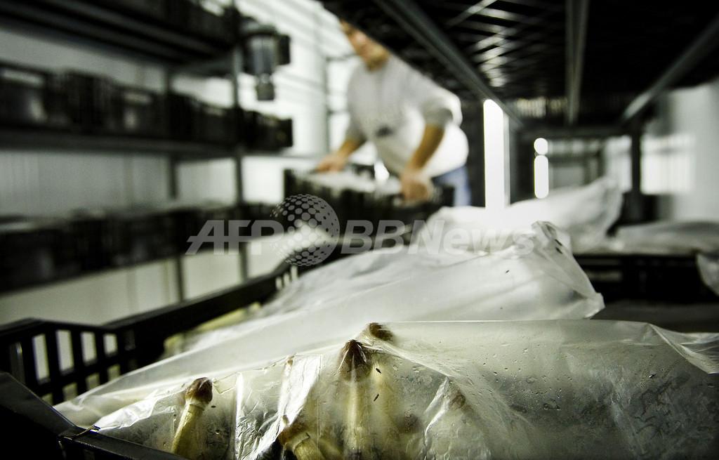 オランダで幻覚作用のあるキノコの栽培販売が違法に