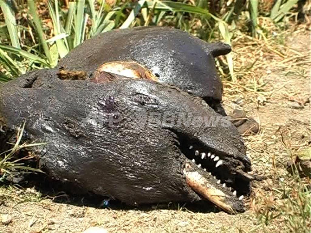 ソロモン諸島からUAEへイルカを輸出、環境団体は「非人道的」と非難