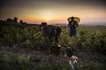 ボージョレ地区でブドウの収穫、フランス