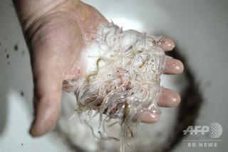 【絶滅危惧】ウナギの稚魚25万匹超を密輸、クロアチアで韓国人2人逮捕 ->画像>10枚
