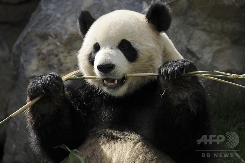 ジャイアントパンダの消化器系、タケ食適応に進化せず 中国研究