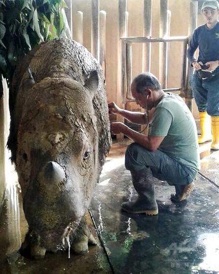 絶滅危惧種スマトラサイ、マレーシア最後の雌が瀕死