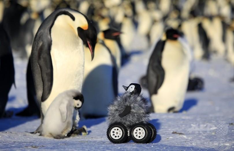 偽ペンギン載せたローバー、個体群調査に有用 研究