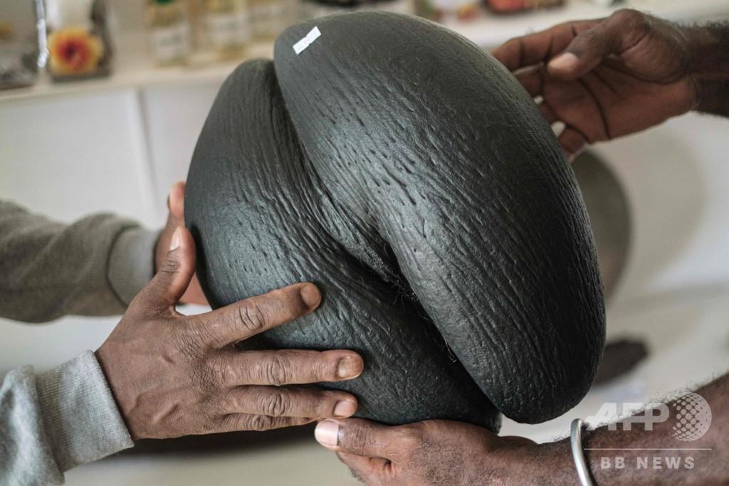 世界最大の種子を持つセーシェルのヤシ、意味ありげな形で数々の神話