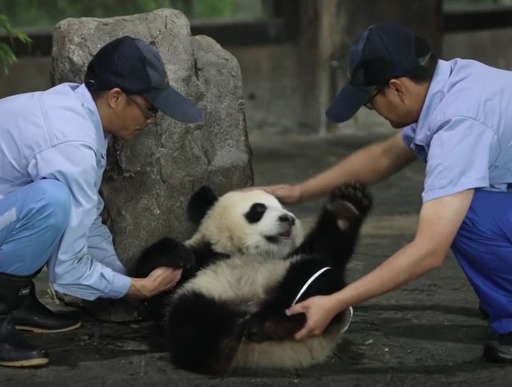 動画:悪戦苦闘? 赤ちゃんパンダの身体検査 上海