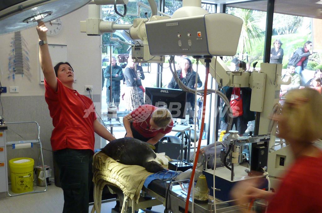 体調を崩した迷子のコウテイペンギンを救え!一流医師が手術 NZ