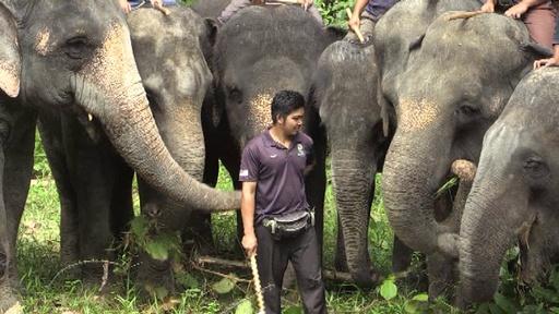 動画:人と野生動物の衝突を減らせ、ゾウ部隊が一役 マレーシア