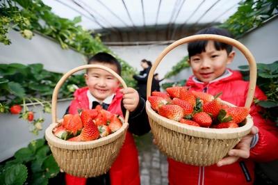 イチゴの立体栽培で収入増 山東省青島市