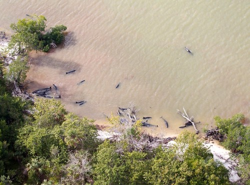 オキゴンドウ80頭以上が大量死 米フロリダ