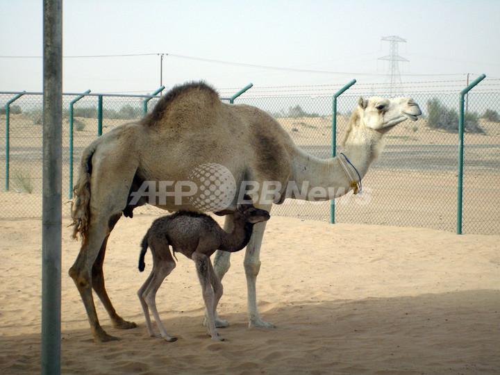 世界初のラクダのクローン、ドバイで誕生