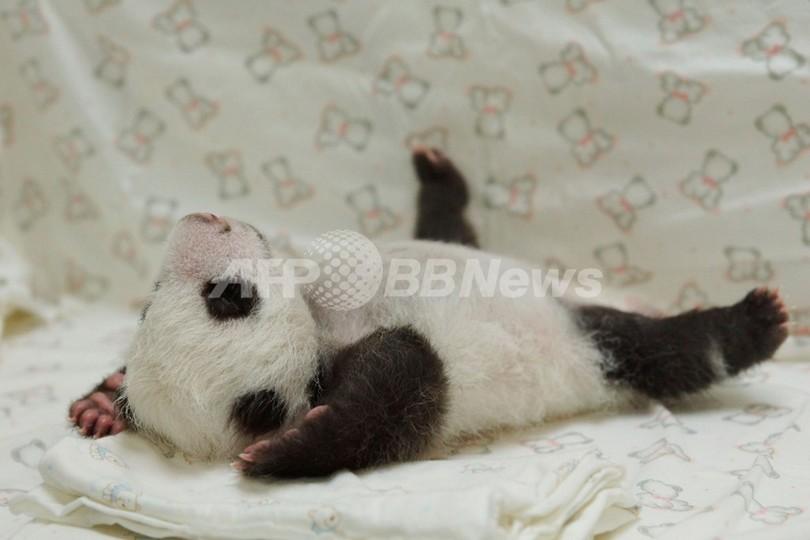 大の字になってお昼寝?台湾の赤ちゃんパンダ