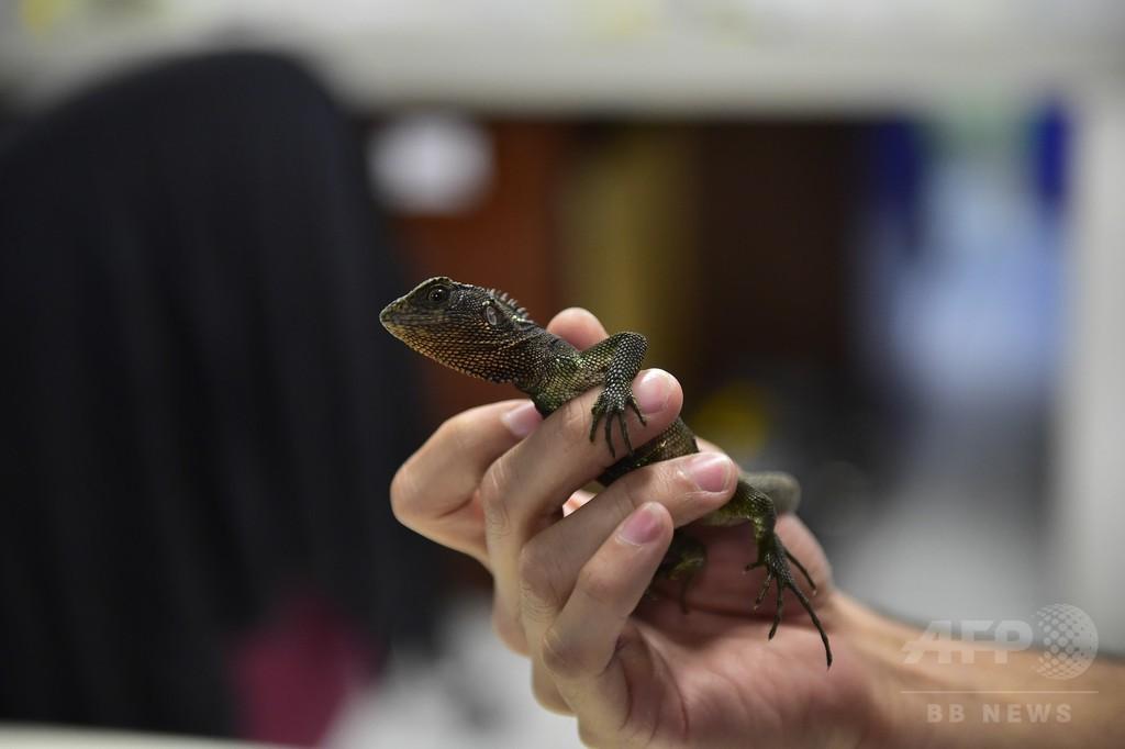 まるで「ミニゴジラ」、熱帯アンデスで新種のトカゲ3種を発見